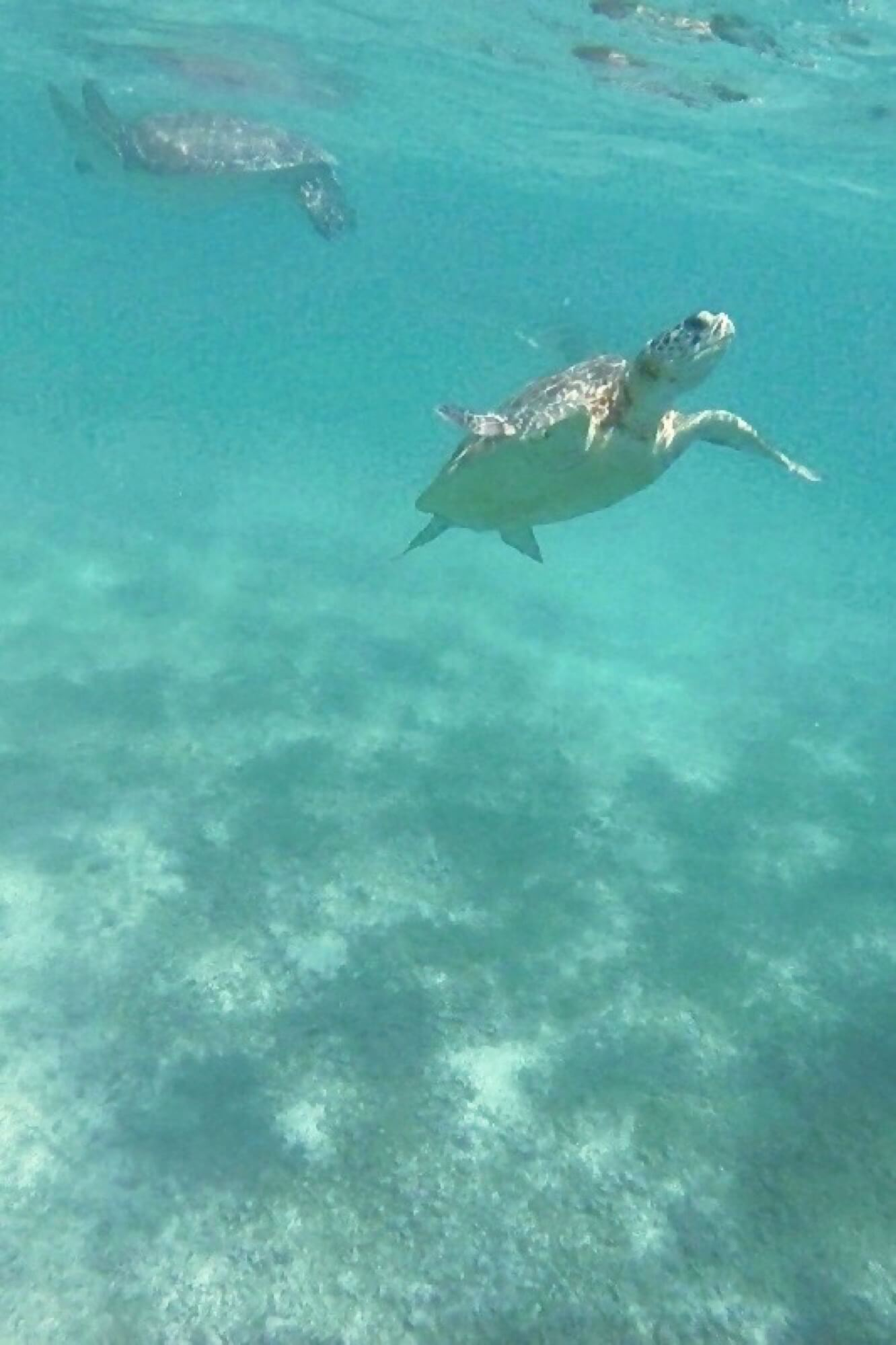 Deux tortues remontent à la surface à Akumal
